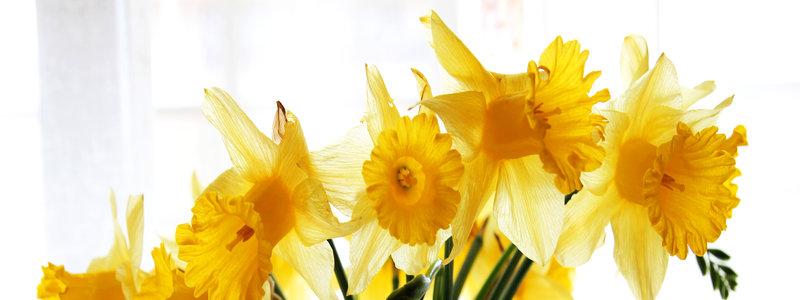 rsz_daffodile