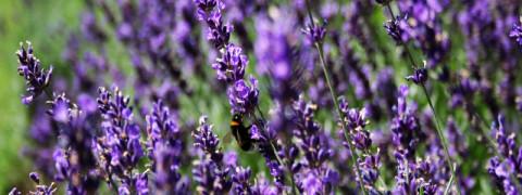 rsz_lavender