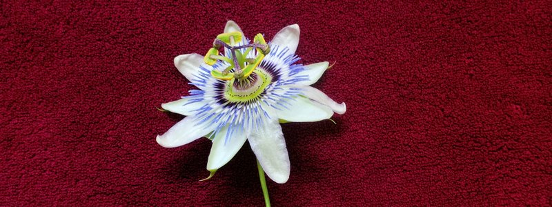 RTW Passionflower